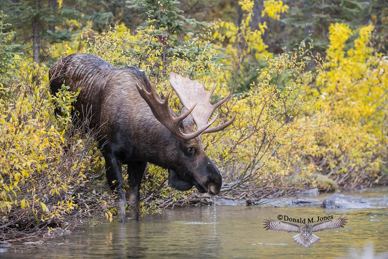 Moose06238D
