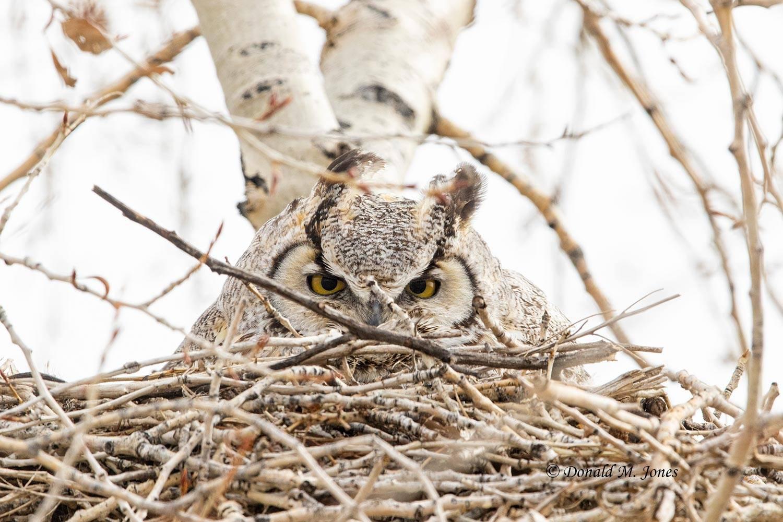 Great-Horned-Owl0243D