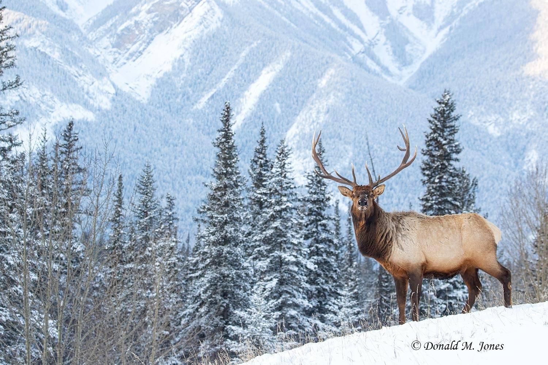 Elk-(Rocky-Mtn)27786D