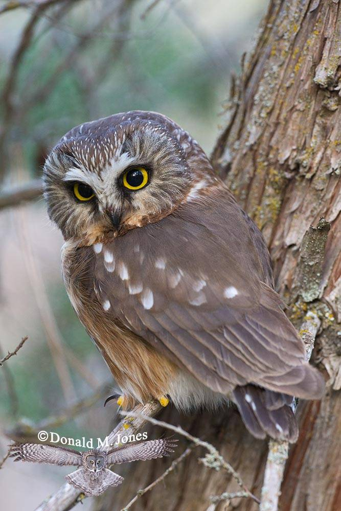 Northern-Saw-whet-Owl0119D