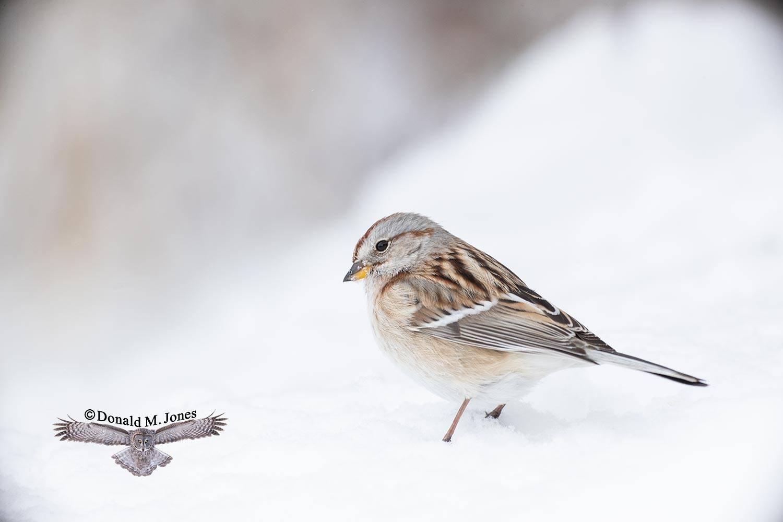 American-Tree-Sparrow0138D