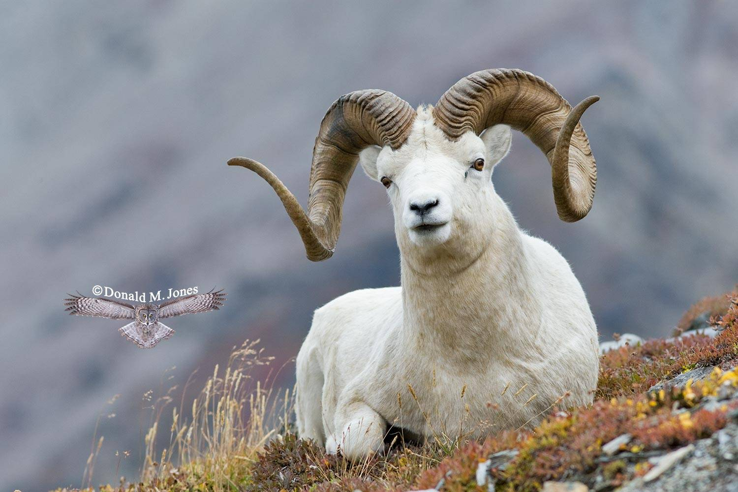 Dall-Sheep01183D