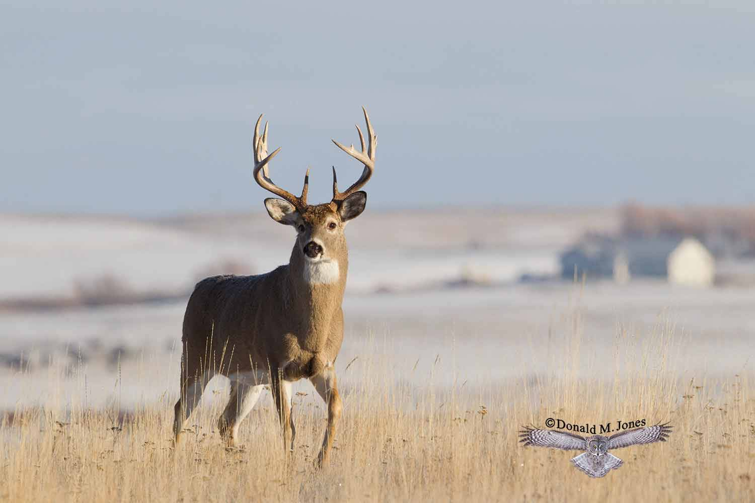 Whitetail-Deer48879D