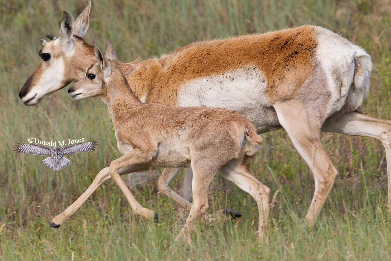 Pronghorn-Antelope04737D
