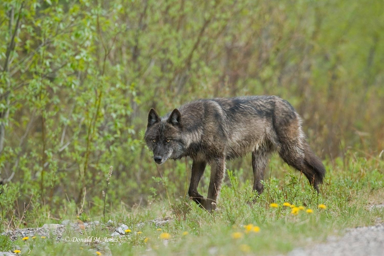 Wolf0339D