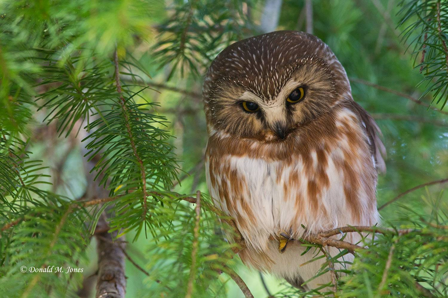 Northern-Saw-whet-Owl0106D