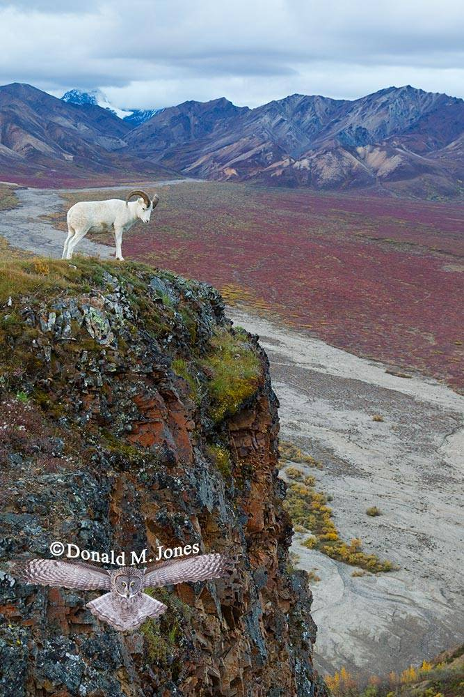 Dall-Sheep01500D