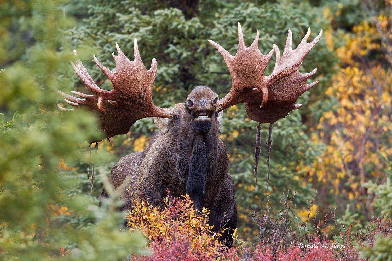 Moose03733D