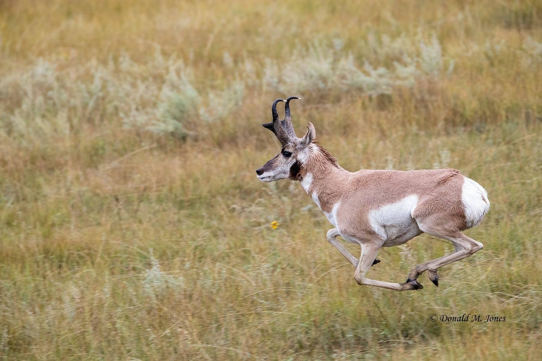 Pronghorn-Antelope6044D.jpg