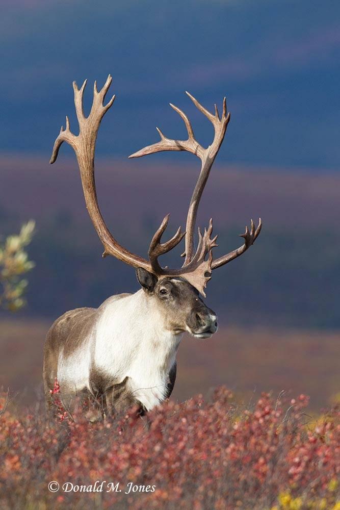 Barren-Ground-Caribou02263D