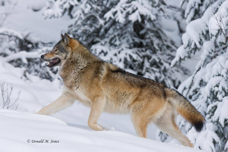 Wolf0420D