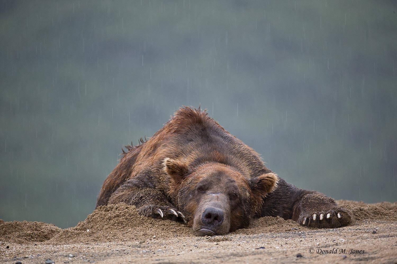 Brown-Bear02012D