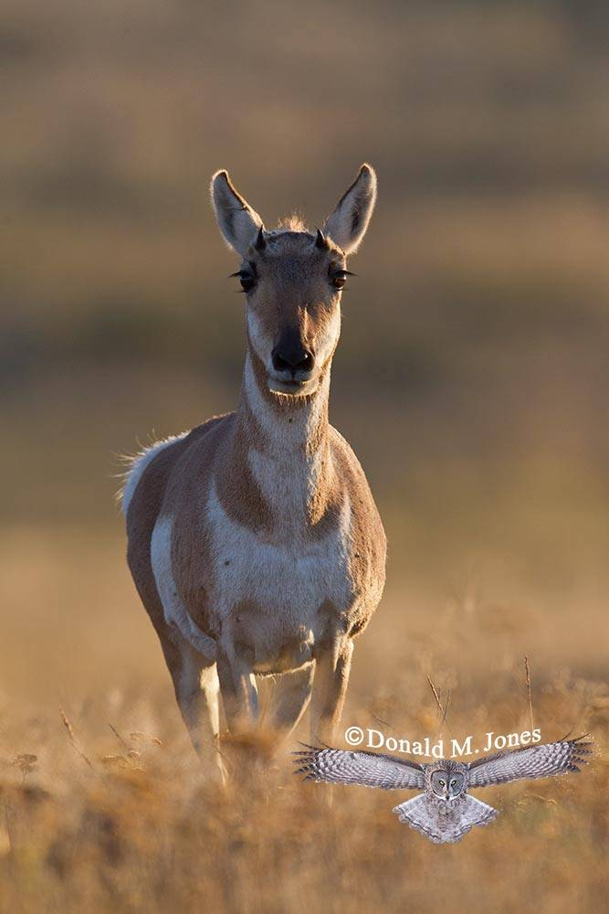 Pronghorn-Antelope04342D