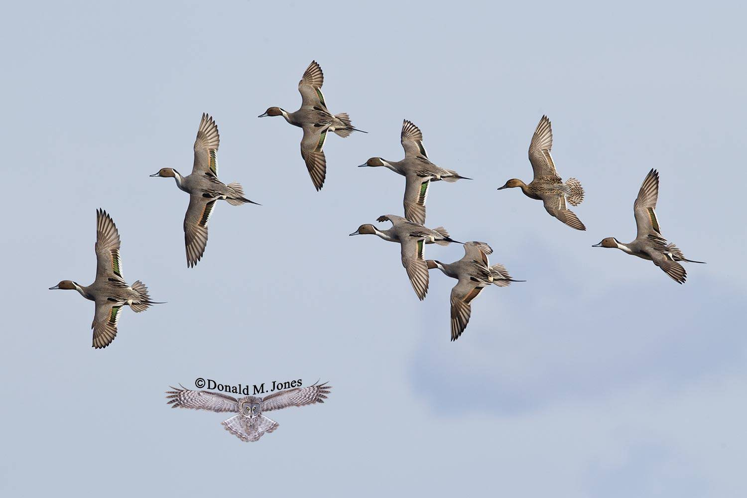 Northern-Pintail1432D