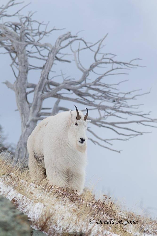 Mountain-Goat02290D