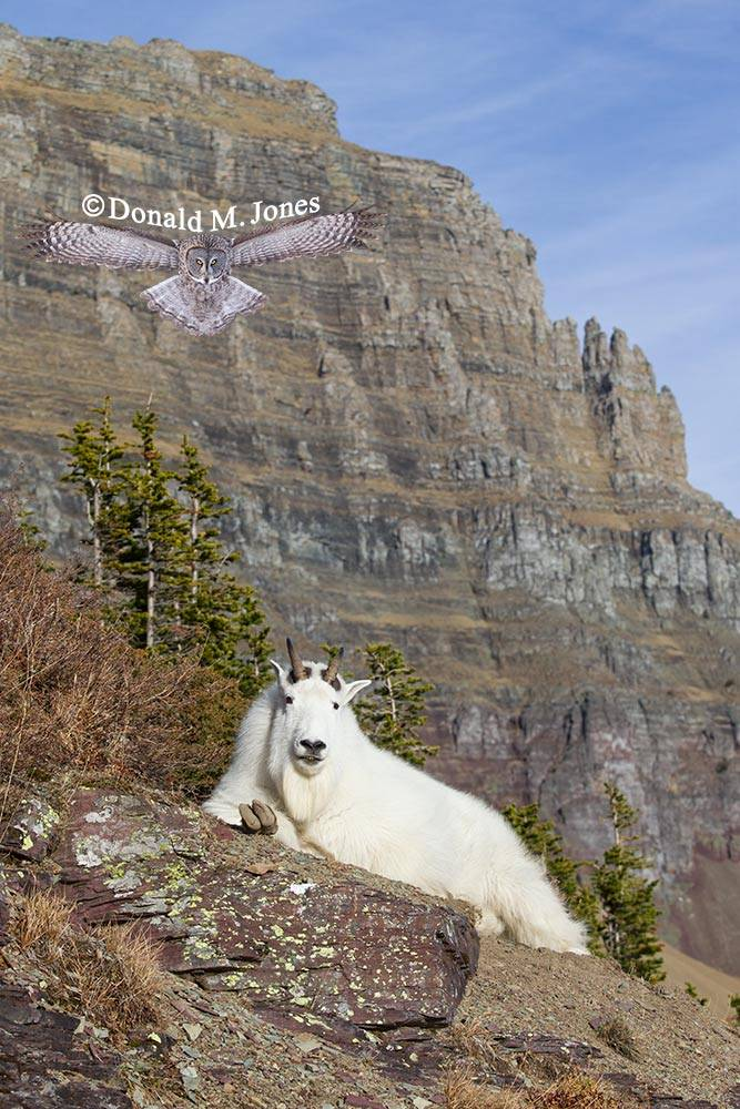 Mountain-Goat02799D