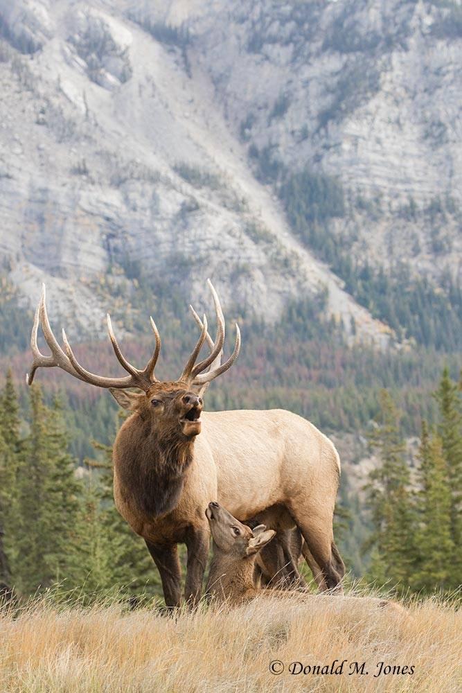 Elk-(Rocky-Mtn)26107D
