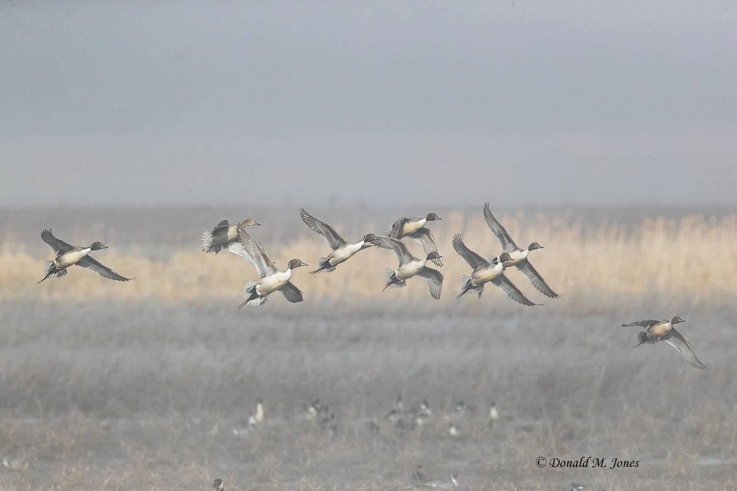 Northern-Pintail2453D