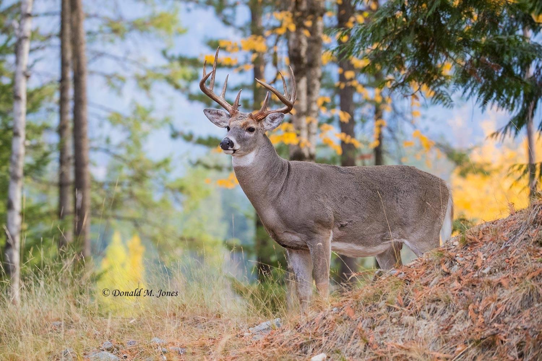 Whitetail-Deer57971D
