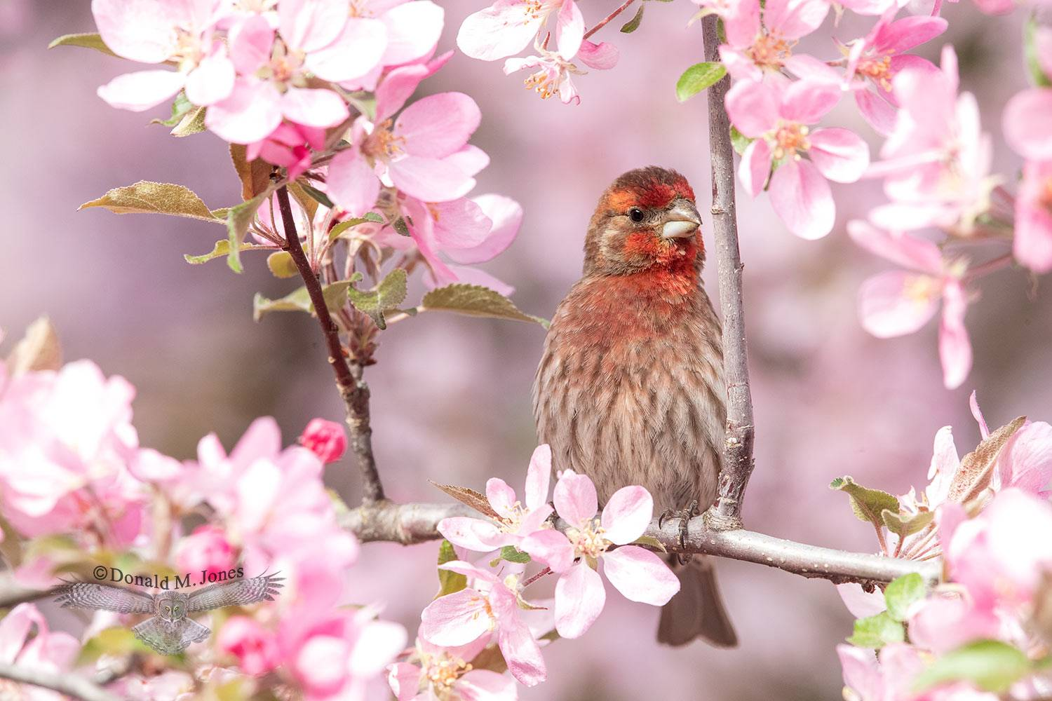 May 11 House Finch male in Crab Apple tree