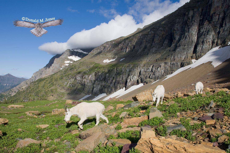 Mountain-Goat02040D