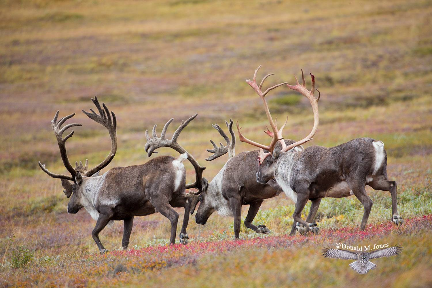 Barren-Ground-Caribou03208D