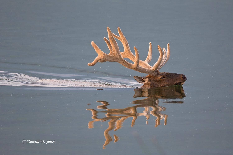 Elk-(Rocky-Mtn)19736D