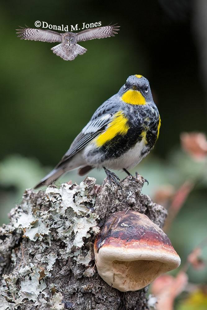 Yellow-rumped-Warbler0287D