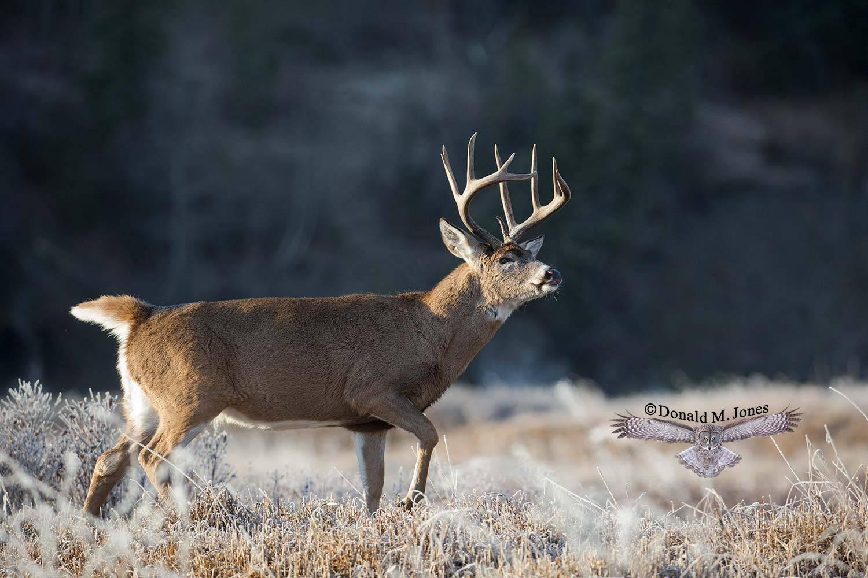Whitetail-Deer54673D