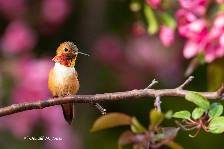Rufus-Hummingbird0786D