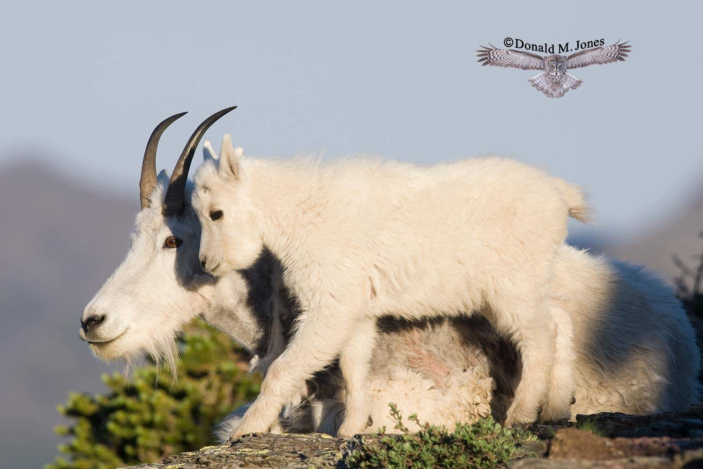 Mountain-Goat01843D