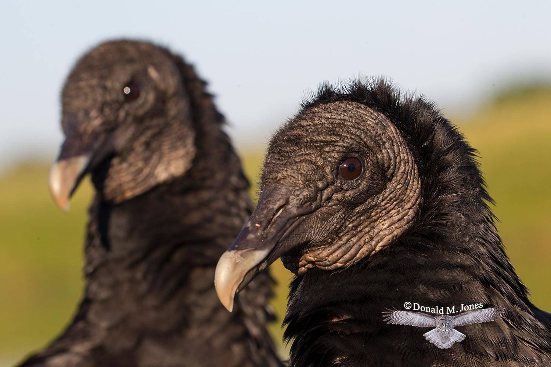 Black-Vulture0173D