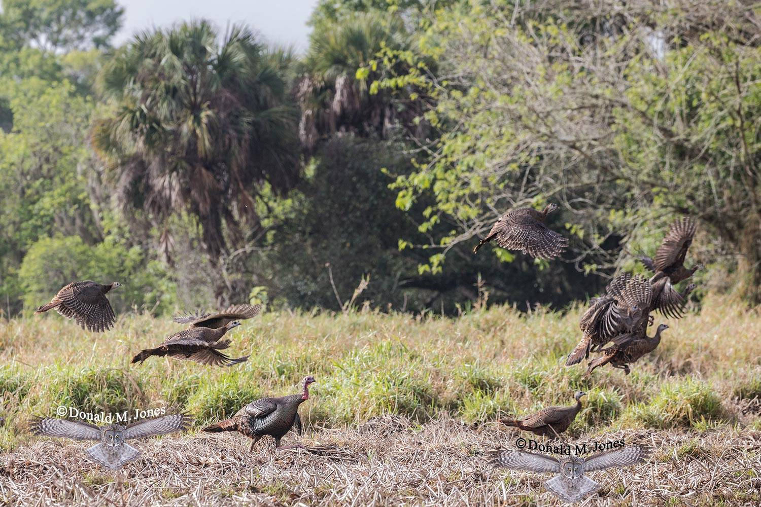 Wild-Turkey-(Osceola)0109D