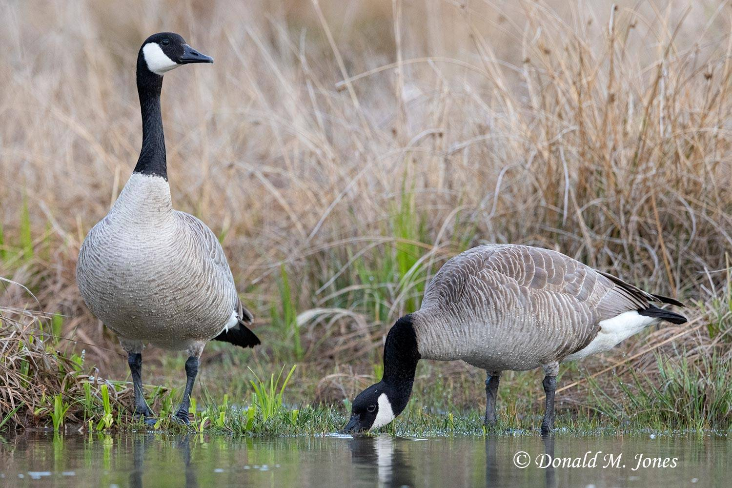 May 1 - Canada Goose1665D.