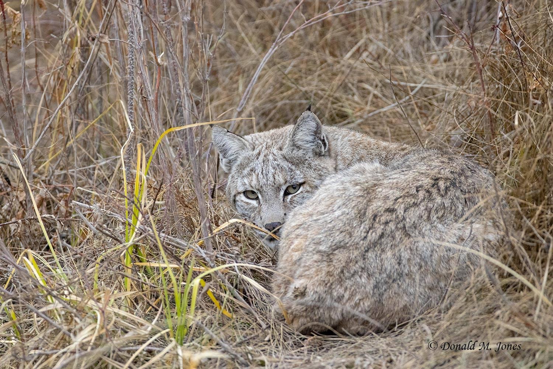 Bobcat0118D