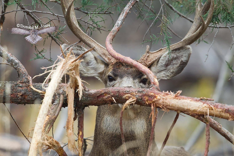 Mule-Deer08016D