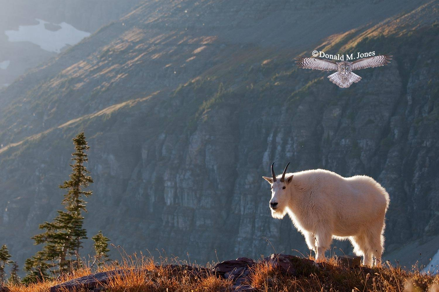 Mountain-Goat02083D