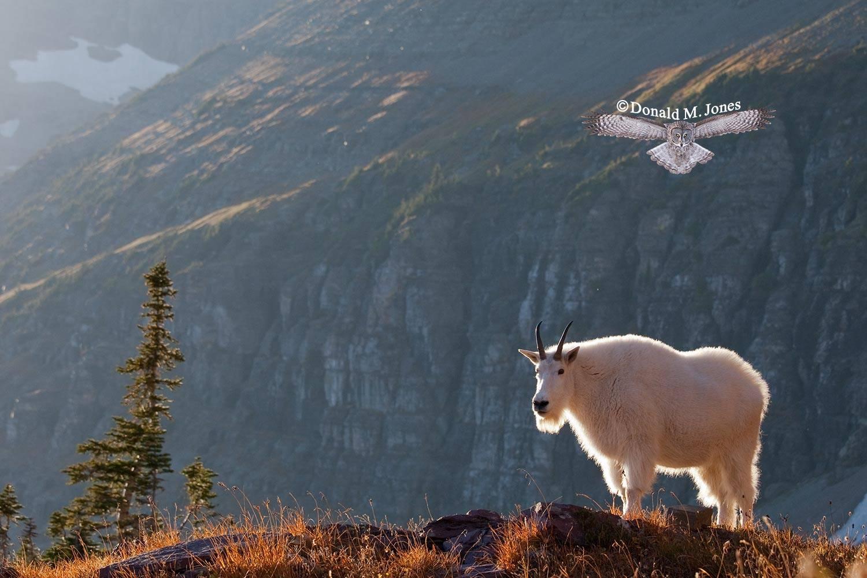Mountain-Goat02083D