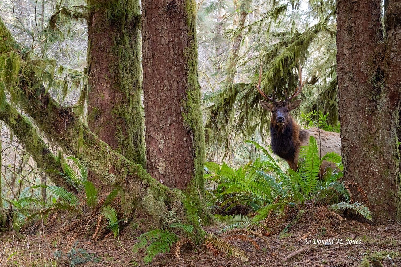 Elk-(Roosevelt)00198D