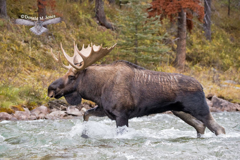 Moose06461D