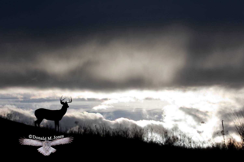 Whitetail-Deer51651D