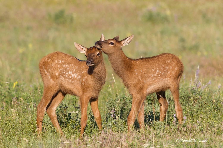 Elk-(Rocky-Mtn)21440D