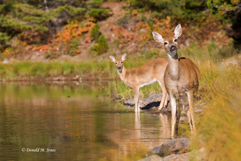 Whitetail-Deer48500D