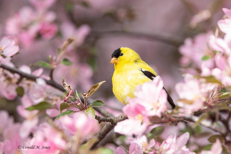 American-Goldfinch0254D