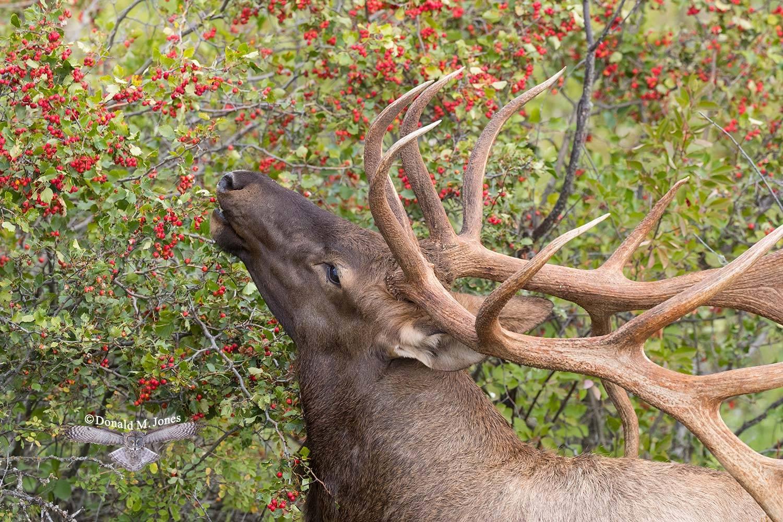 Elk-(Rocky-Mtn)23105D