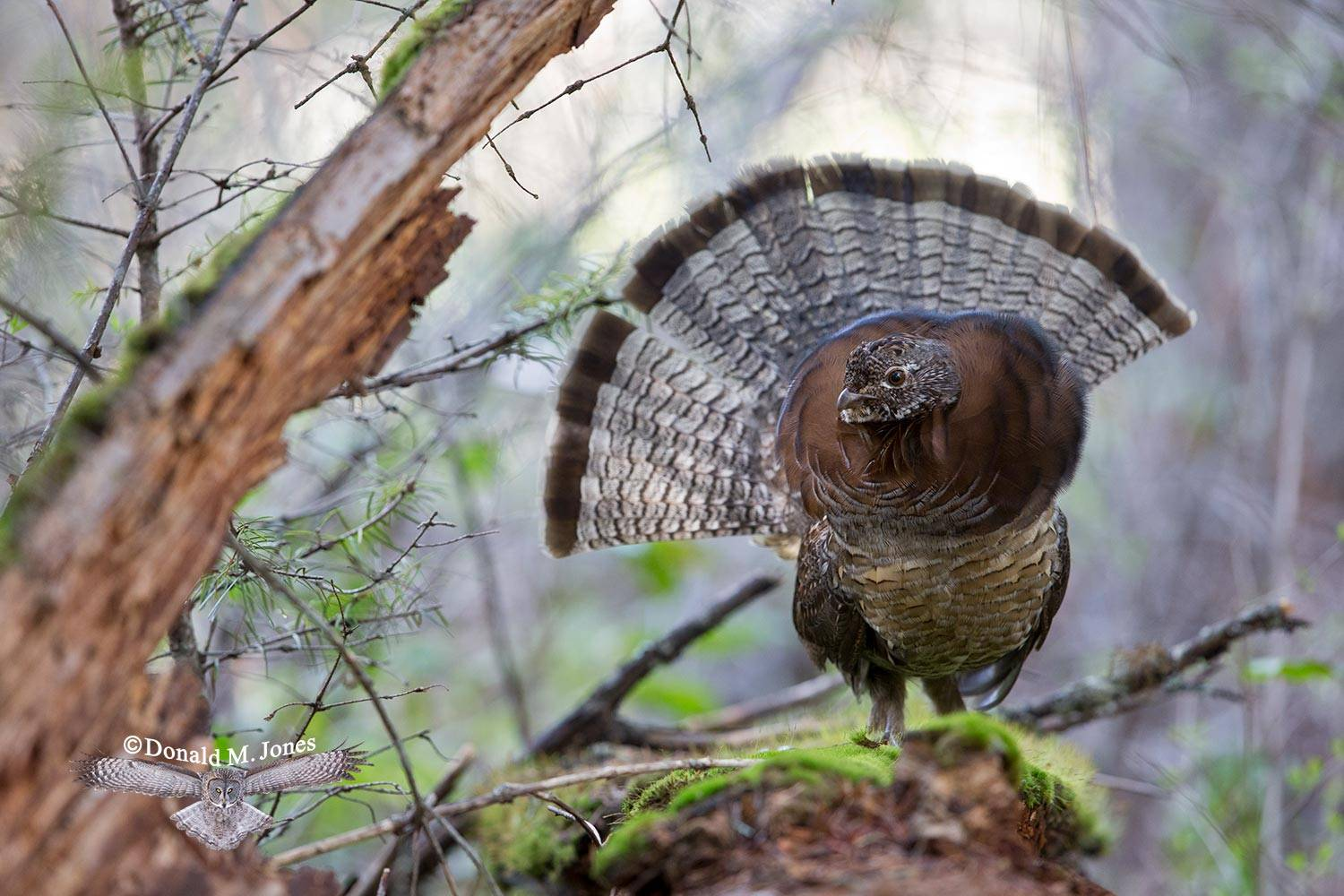 Ruffed-Grouse0287D