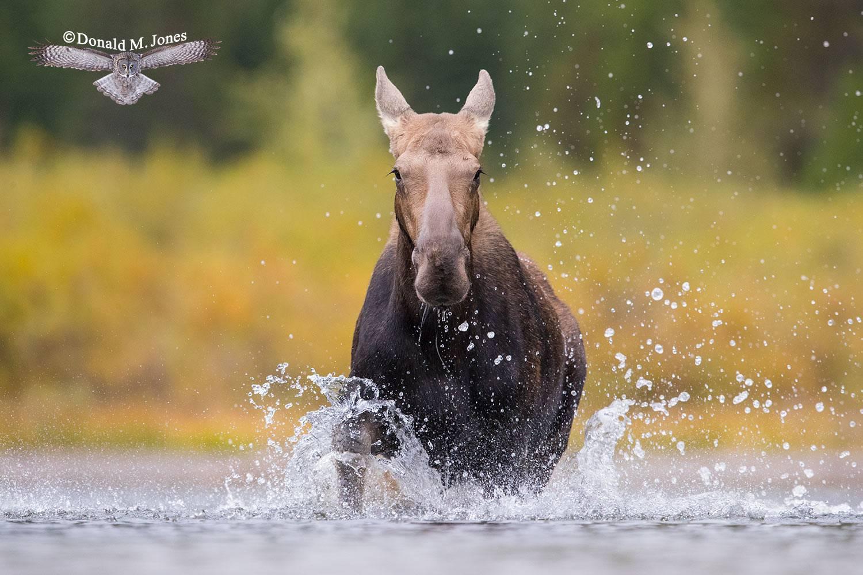 Moose06424D