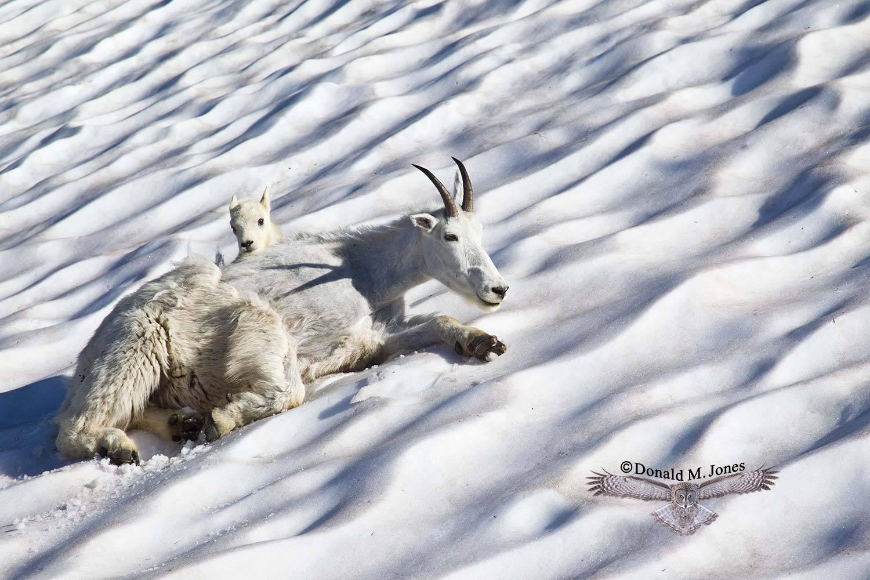 Mountain-Goat02352D