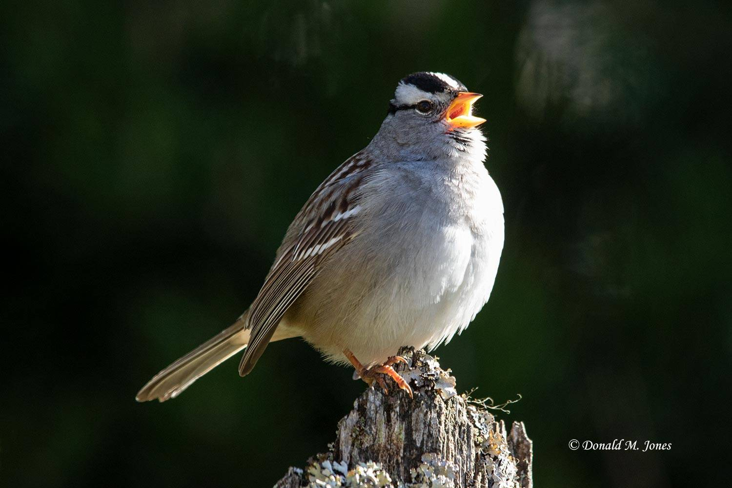 White-crowned-Sparrow0847D