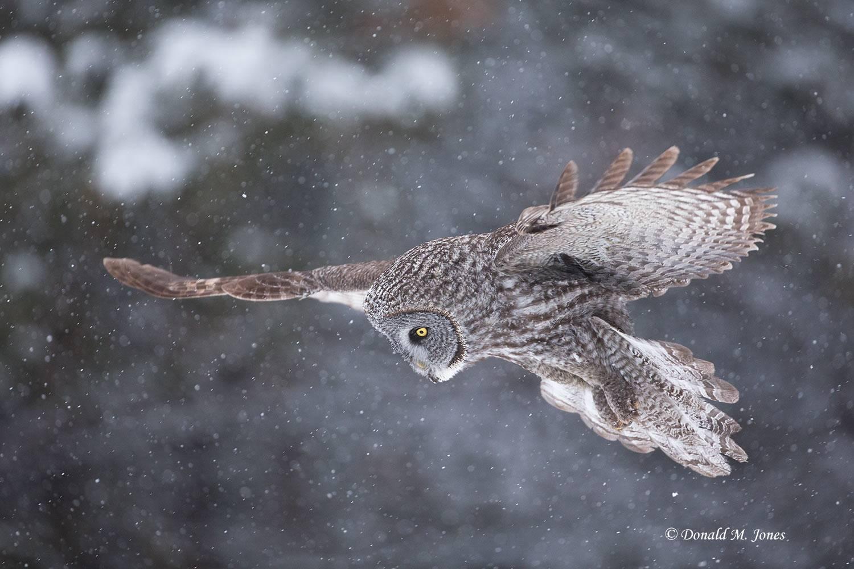 Great-Gray-Owl0950D